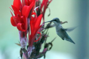 The hummingbird angles for one of the remaining canna lily flowers she thinks has nectar