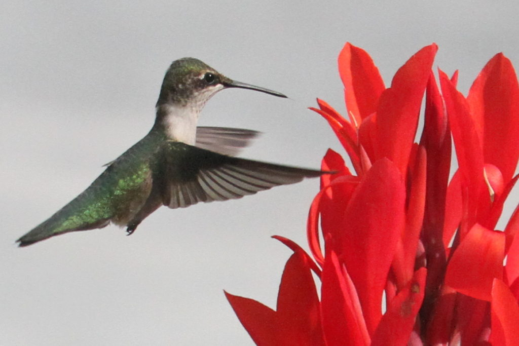 The hummingbird's tongue is just barely visible as she approaches the flower