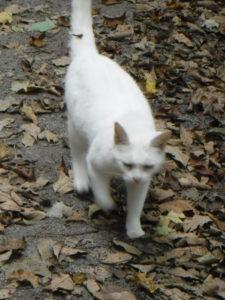 white cat trots towards Shari