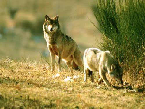 één van de dieren die je in het natuurpark van Monte Amiata kunt aantreffen is de wolf