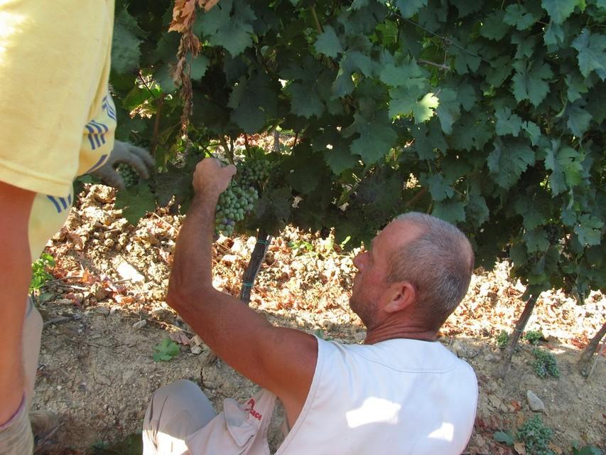 De druiven worden handmatig geplukt