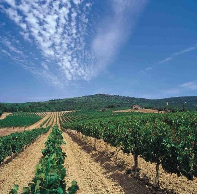 Wijnvelden rond Bolgheri