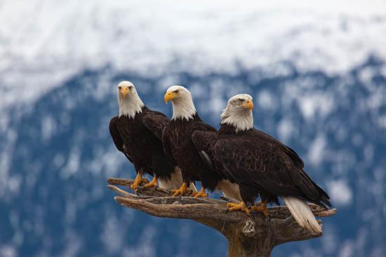 photodune-1716467-american-bald-eagles-l