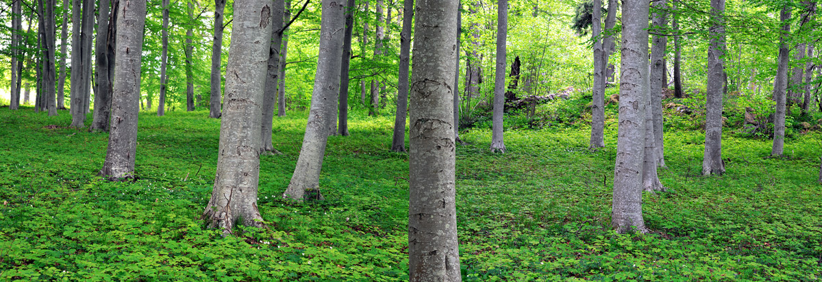 photodune-4818764-aspen-trees-in-park-xxl-1