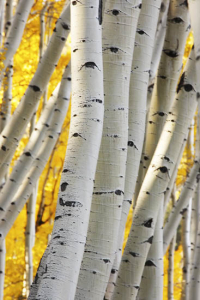 Aspen forest in a fall, Colorado