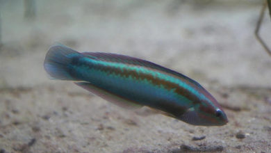 Photo of This Fish Is Able To Recognize Itself In A Mirror