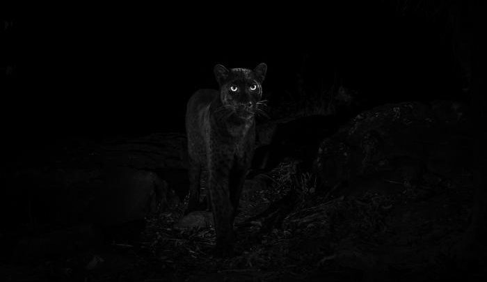 Photo of Rare Black Panther Spotted In Kenya