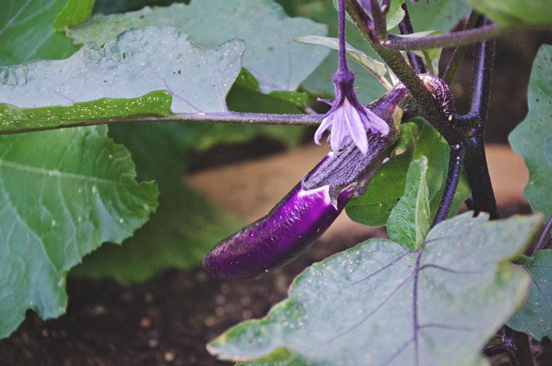 first japanese eggplant