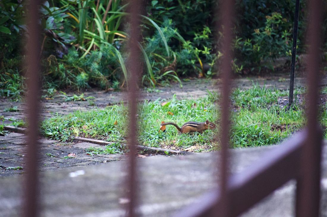 Chipmunk in the garden