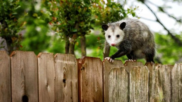 The Possum Chronicles