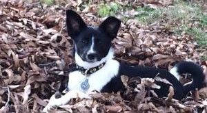 border collie, female, adopted