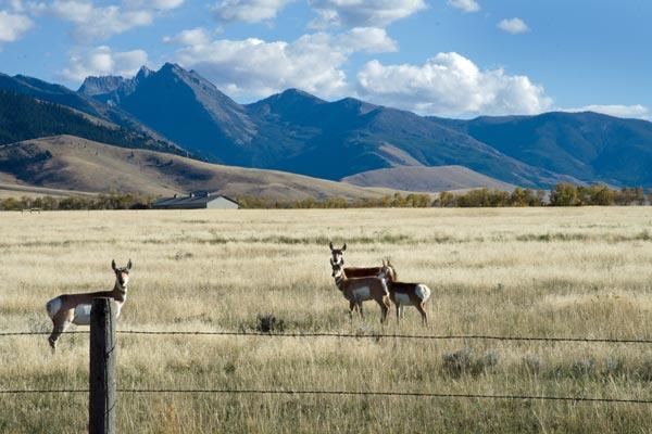 Antelope on Bear Creek Road in Cameron, Montana