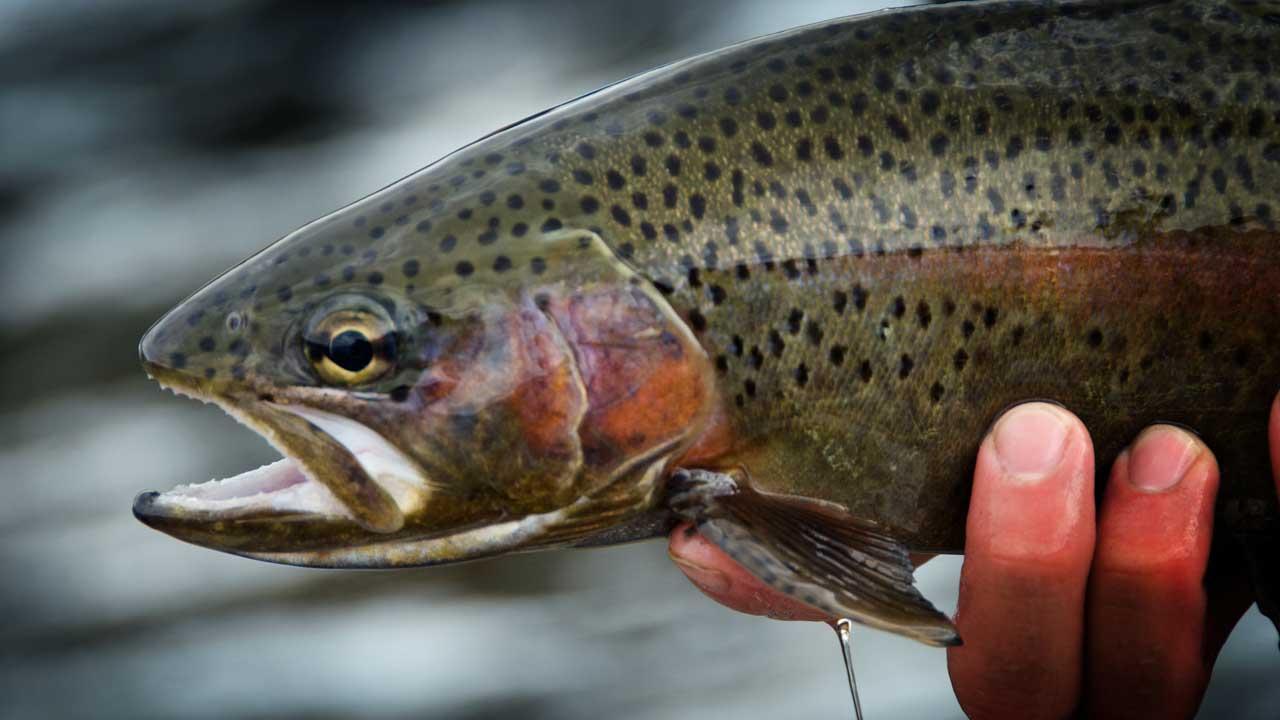 Madison River Rainbow Trout