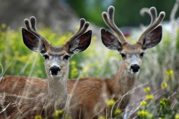 Mule Deer in Ennis Montana - near the Rainbow Valley Lodge