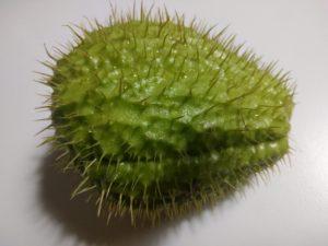 Chayote o zucchina spinosa