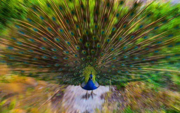 Peacock, Tuscany