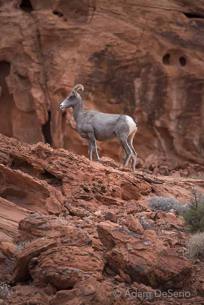 Horned Sheep, Valley Of Fire, Nevada