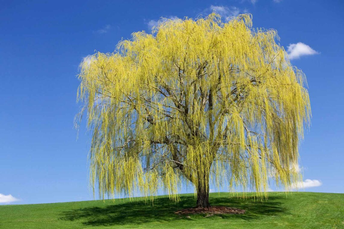 photo of a weeping willow tree