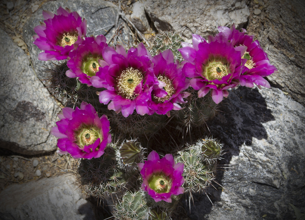 Hedge hog cacti in bloom