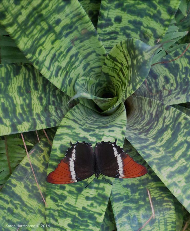 butterfly bromeliad-imp