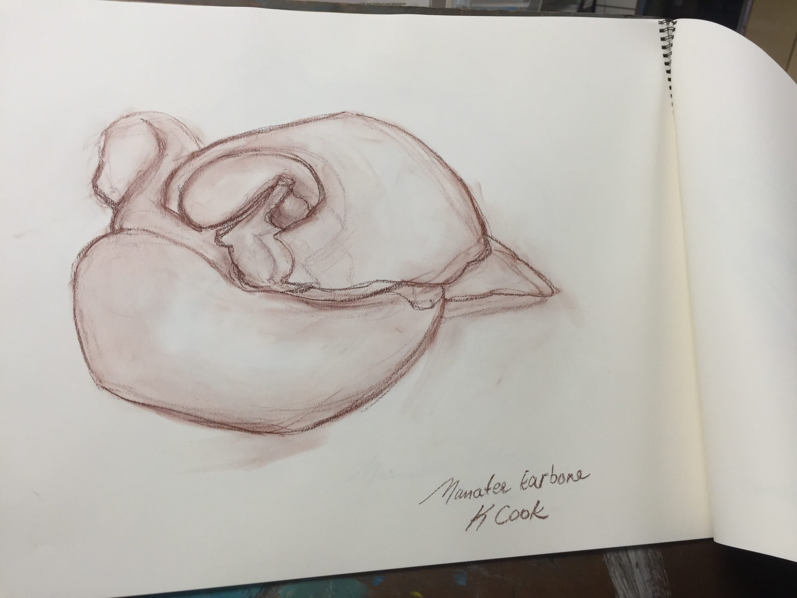 Drawing from a Manatee Skeleton