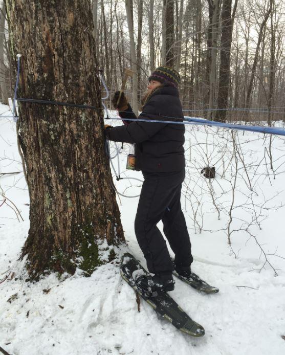 Large maples need to be protected from overtapping, each is monitored. Les grosses érables sont protégés du sur-entaillage en les inspectants en détail.