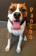 Pancho (boxer)