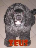 Zeus (cocker)