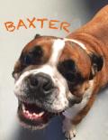 Baxter(old english bulldog)