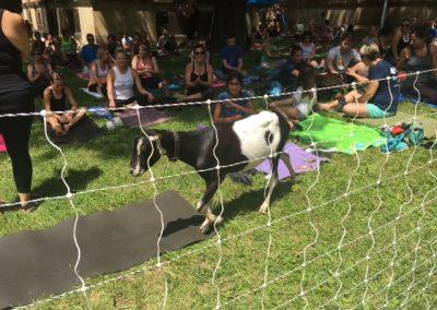 AS_Goat Fest Yoga