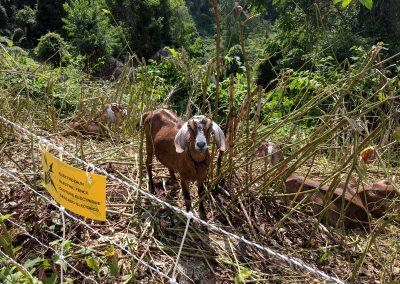 SK_Goat Fest