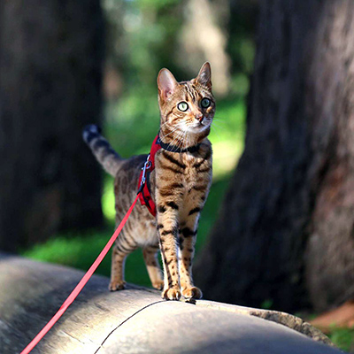 Simba the cat out on a walk