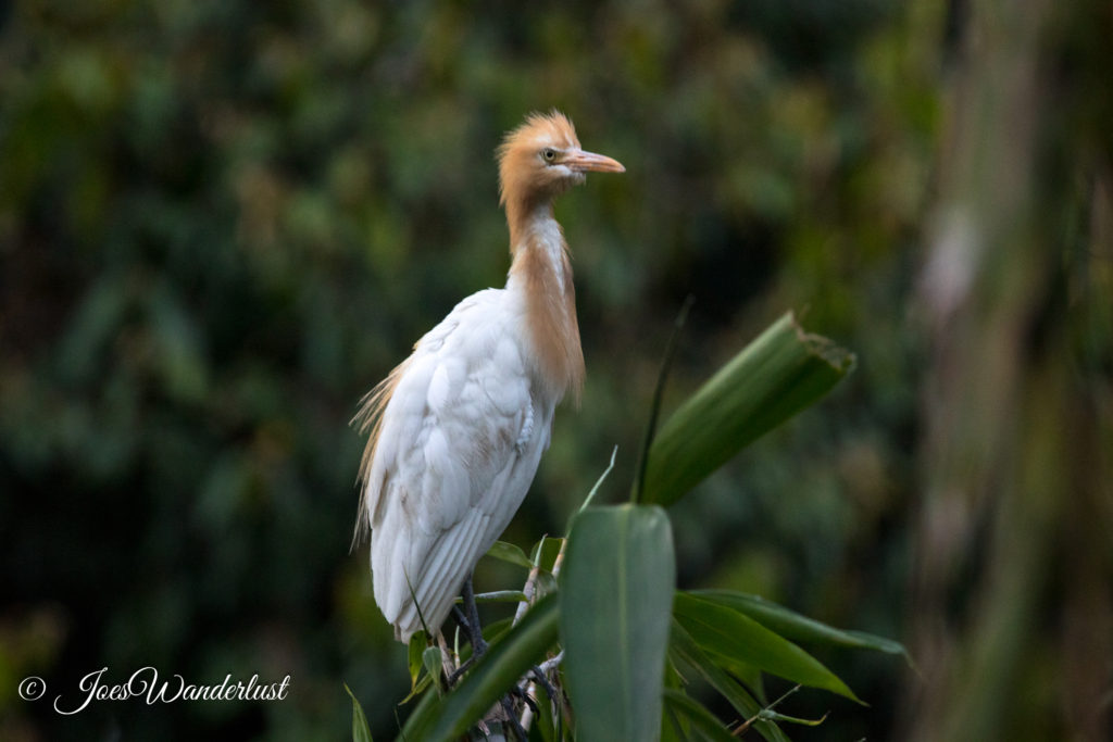 Petulu Heron