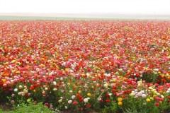 Flowers in Negev