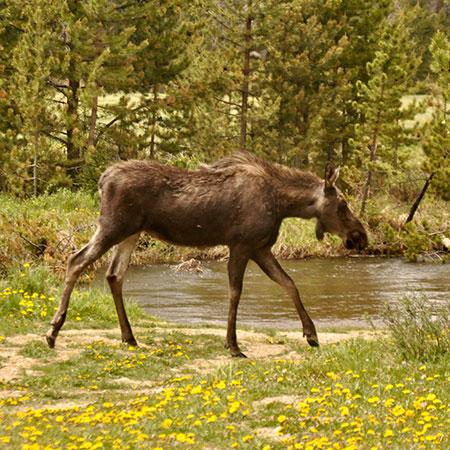 Mt. Elbert Lodge Moose