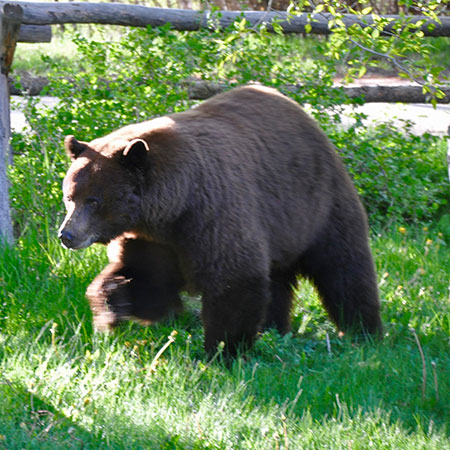 Mt. Elbert Lodge Bear