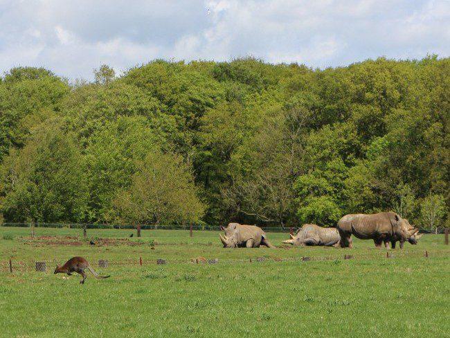 Rhinos at Whipsnade Zoo