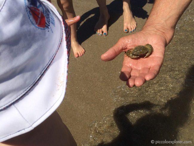 Crab at Fano Beach