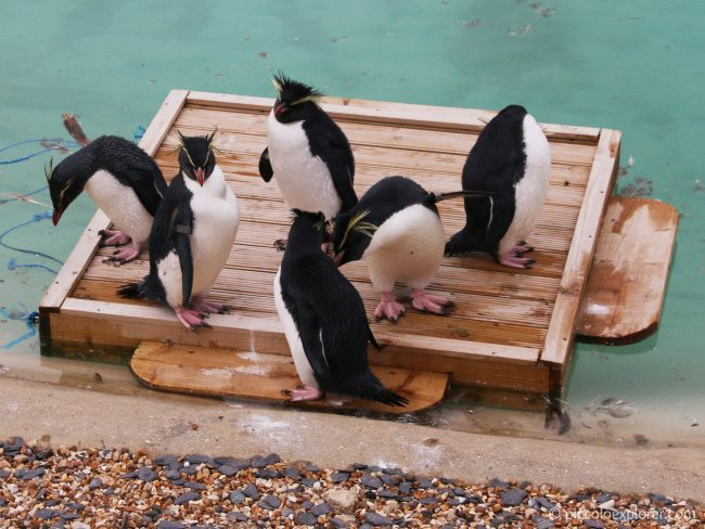 Penguins at Whipsnade Zoo