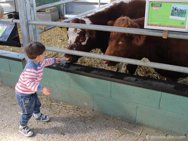 Feeding the cows at Bocketts Farm Park Surrey