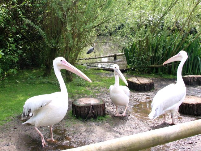 Pelicans at Birdworld