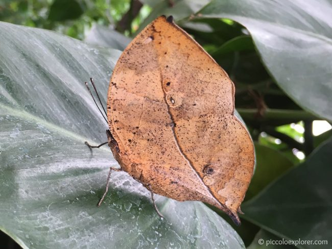 Leaf Butterfly at ZSL London Zoo