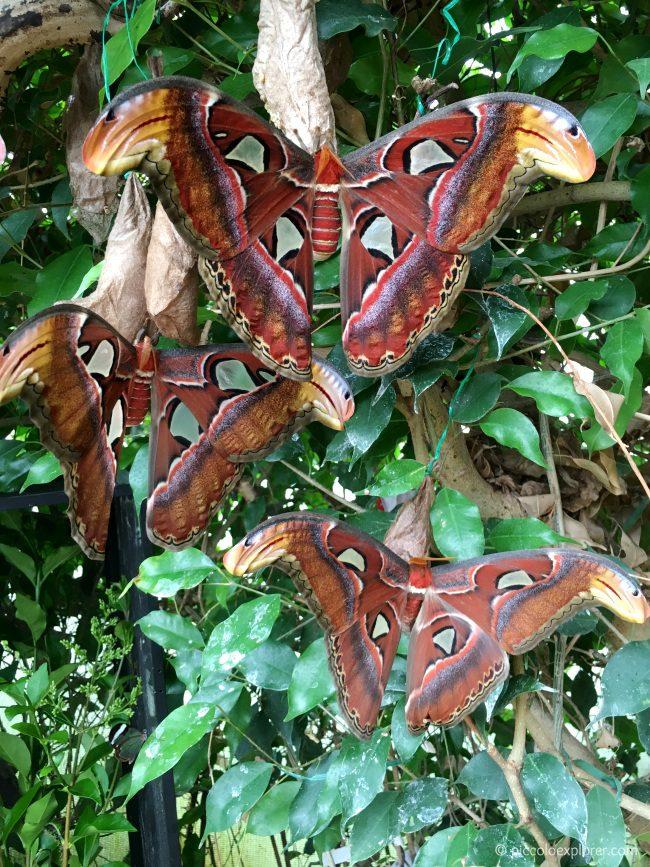 Atlas Moths at ZSL London Zoo