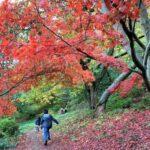 Autumn Colours at Winkworth Arboretum, National Trust in Surrey