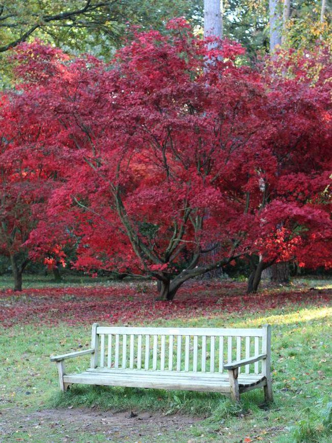 Red maple tree Winkworth Arboretum