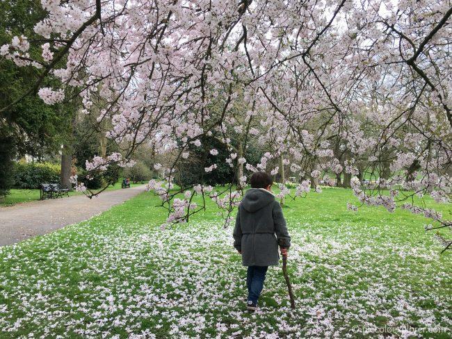 Blossom Tree in Kensington Gardens, London