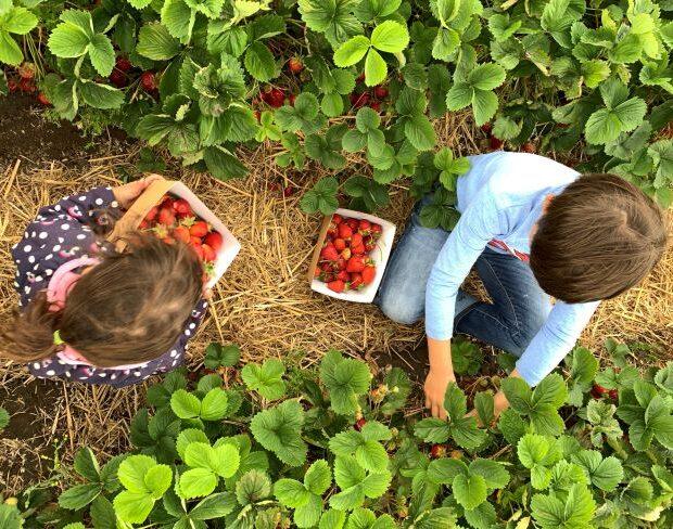 Fruit picking Esher