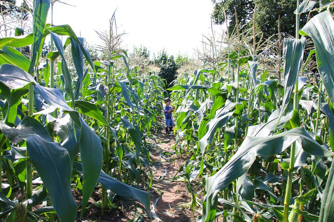 Corn field at Garsons Pick Your Own Farm