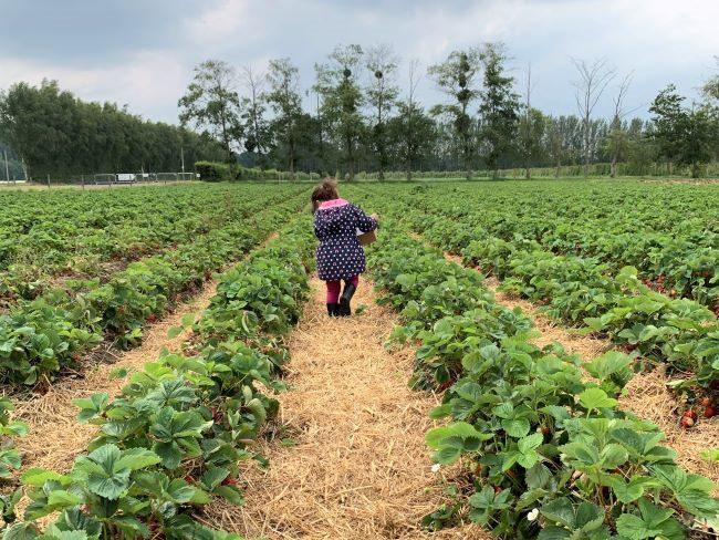 Garsons Farm Strawberry Crop