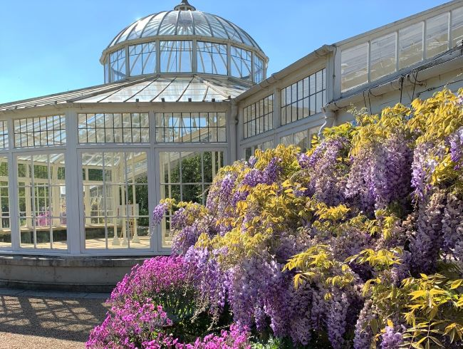 Wisteria at Chiswick House London